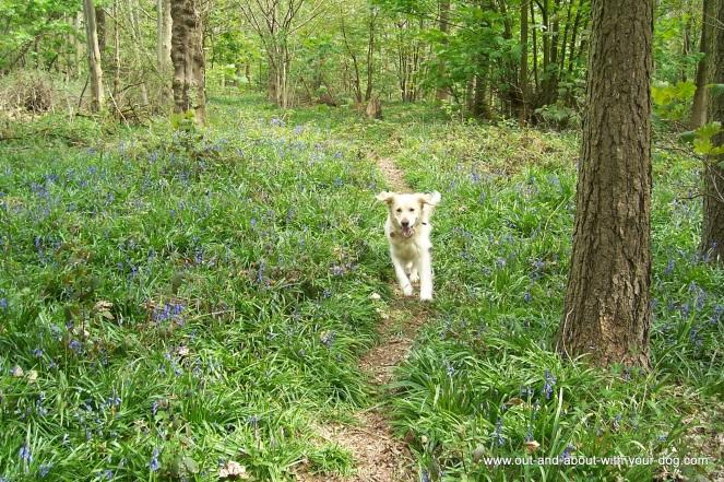 georgie running through bluebells